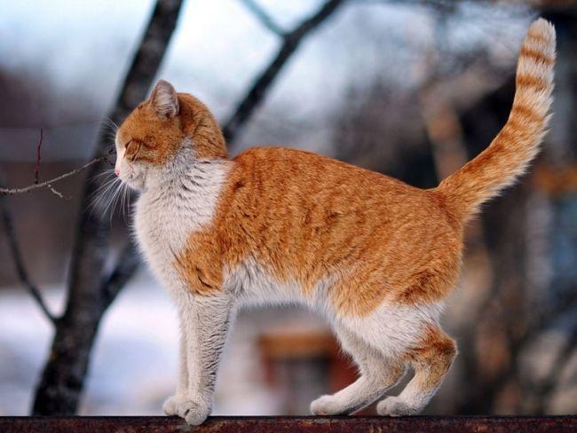 Кішка гуляє по забору з піднятим догори хвостом