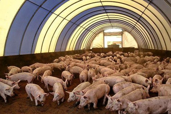 Переваги та особливості використання підстилки для свиней з бактеріями