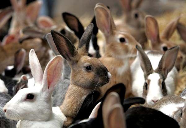 Багато кроликів в купці