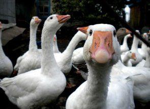 Прибуткова справа для господаря - розведення гусей на фермі