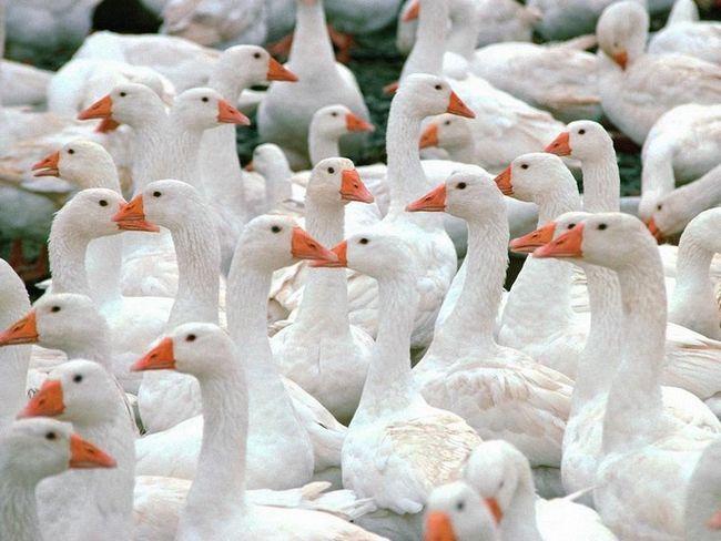 Багато білих гусей на вулиці