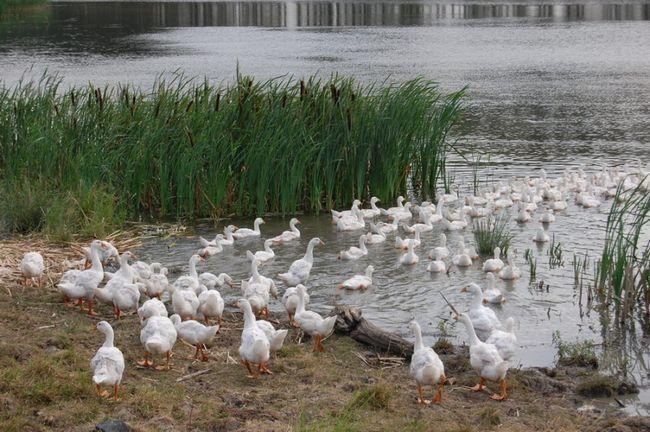 Домашні гуси пасуться біля води