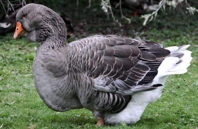 Сірий гусак Тулузької породи