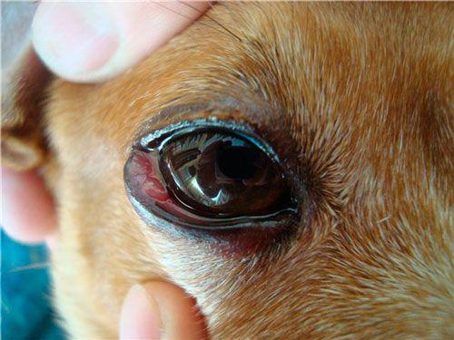 фолікулярний кон`юнктивіт у собаки
