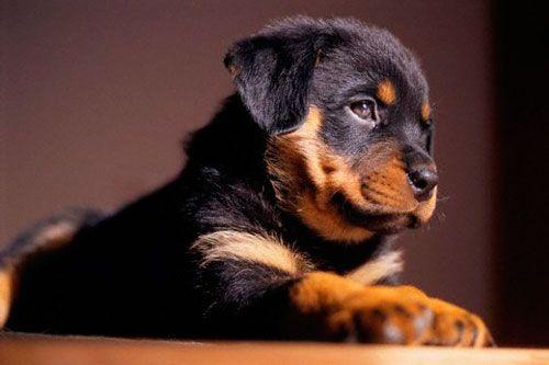 Причини і лікування крипторхізму у собак