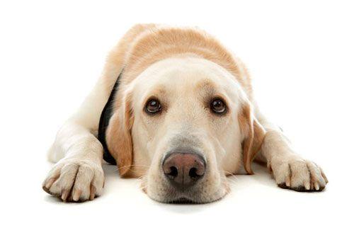 лікування крипторхізму у собаки