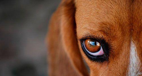 Причини і допомогу при нагноєнні очей у собак