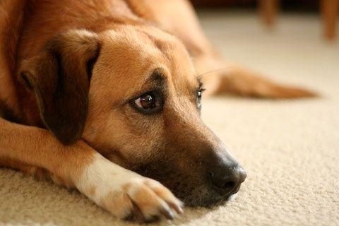 запалення очей у собаки