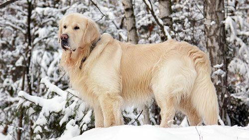 Причини линьки і догляд за шерстю собаки