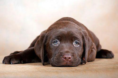 Причини появи і лікування папіломи у собаки