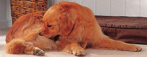 Собака викусивает бліх