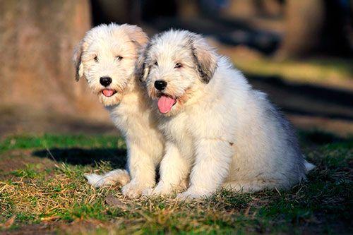 Собаки без бліх