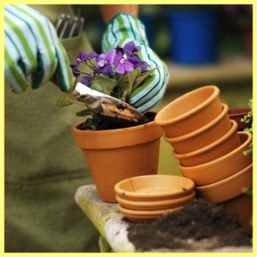 Примула вирощування і догляд в саду