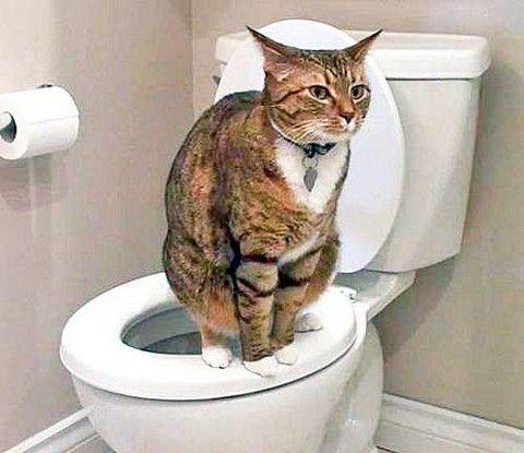 Кішка на унітазі