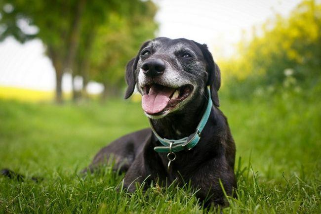 Дорослий пес лежить на газоні