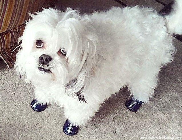 Привчання собаки до взуття
