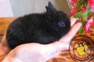 вакцинація кроликів