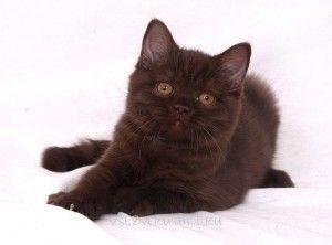 Звички кішок британської породи