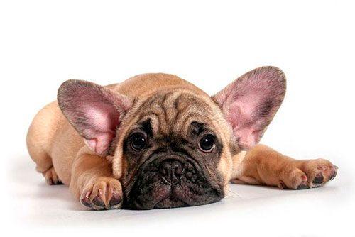 лікування стафілокока у собаки