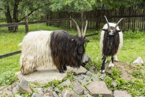 Ознаки полювання і особливості спаровування у кіз