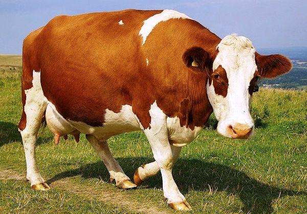 Ознаки тільності корови: визначаємо самостійно