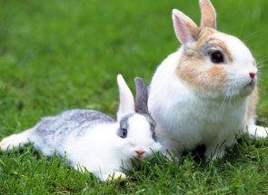 Проблеми кролиці після окролу: поїдання і розкидання кроленят