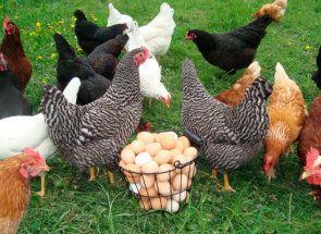 Проблеми несучки - боремося за якість яєць
