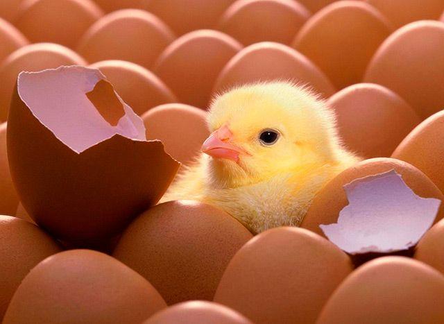 Процес інкубації або як зароджується життя всередині яйця