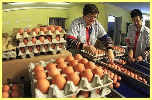 Продаж курячих яєць як бізнес
