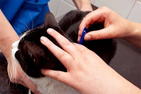 Профілактика і лікування кішок від бліх.
