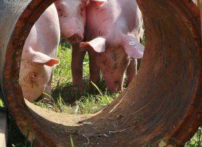 Профілактика інфекційних і паразитичних недуг свиней: в скарбничку свинаря