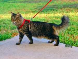 Прогулянка з кішкою