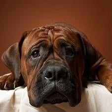 Походження собак, зародження порід