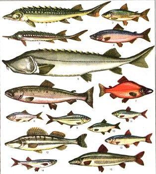 Фото 2 Промислові риби
