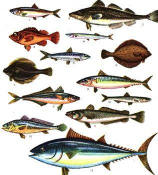 Фото 3 Промислові риби