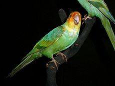 Каролінський папуга (conuropsis carolinensis)