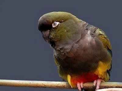 (Cyanoliseus patagonus)