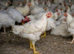 Пташина діарея - як позбавити курку від проносу