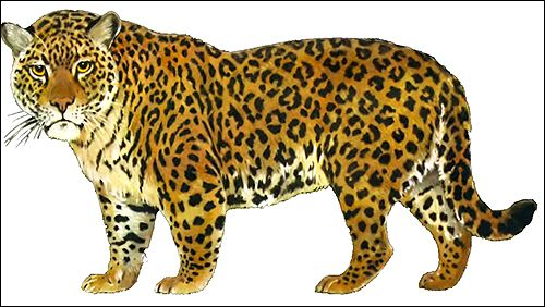 Пума (puma concolor) і ягуар (panthera onca)