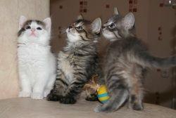 Пухнасті ласкаві кошенята шукають господарів