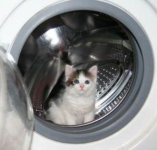 Біло-сіра кішечка
