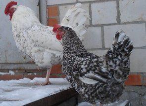 Пушкінські кури - справжня знахідка для фермерів