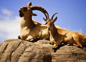 «Мандрівник по горах» - все про гірських козлів