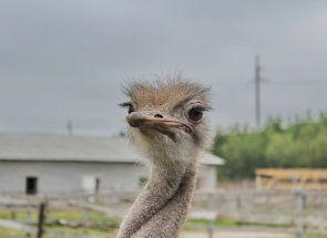 Подорож в мурманск: все про місцеву страусиній фермі