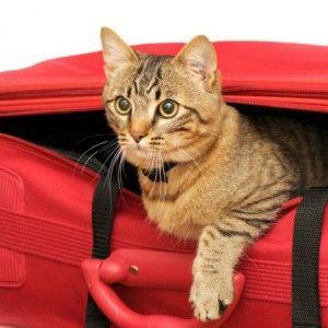 З кішкою в поїздку
