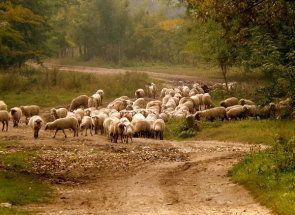 Раціон овець і ягнят: повне керівництво по годівлі тварин