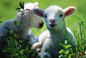 Раціон харчування овець, баранів і ягнят