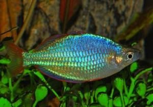Райдужна рибка