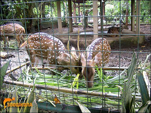 Плямистий олень (cervus nippon)