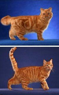 Розкрито генетичний механізм утворення плямистих забарвлень у кішок.